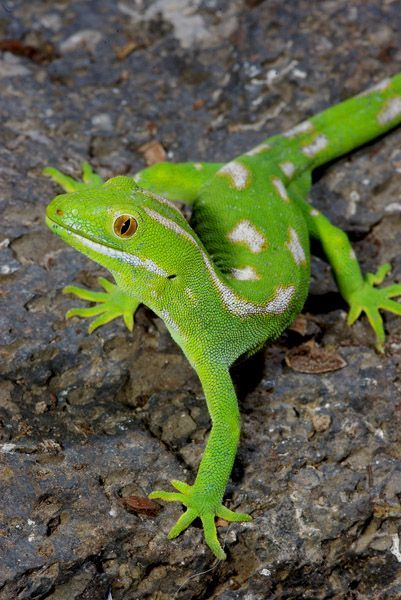 Northland Green Gecko Colorful Lizards Gecko Reptiles