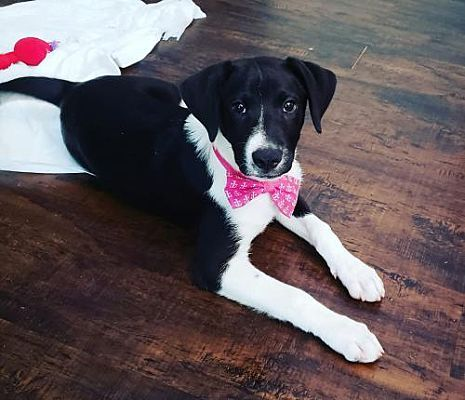 Dallas Ga Border Collie Meet Mr Darcy A Dog For Adoption Pitbull Rescue Pets Kitten Adoption