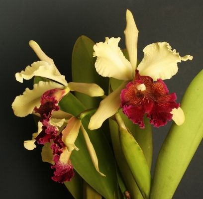 Cattleya Dowiana Cattleya Orchids Orchid Care