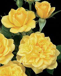Miniature Rosa Lemon Drop Rose at Bachman's Landscaping