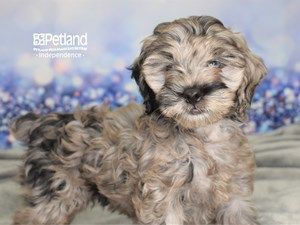 Dogs And Puppies For Sale Petland Independence Missouri In 2020 Puppies For Sale Dogs Dogs And Puppies
