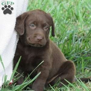 Chocolate Labrador Retriever Puppies For Sale Labrador Retriever