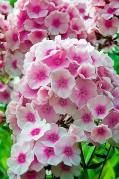 Garden party garden pinterest gardens flowers and wonderful phlox paniculata bright eyes garden phlox full sun partial sun very light shade perennial tall spread mildew resistant mightylinksfo