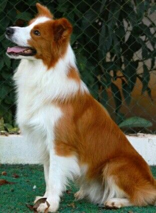 Orange And White Border Collie Bicolor Dog Orange Extra Extra