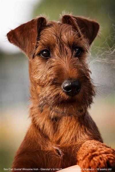 Bildresultat For Irlandsk Terrier Welpen Terrier Irischer Terrier