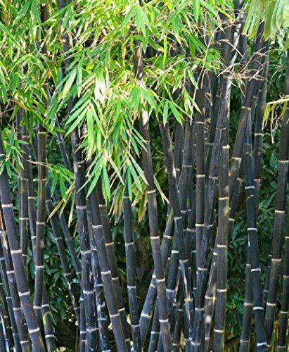 Seltener Schwarzer Bambus Phyllostachys Nigra Raritat 1 Pflanze Ca