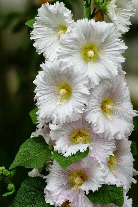 Pin by aziye on ok sevdm ekler pinterest hollyhock pin by aziye on ok sevdm ekler pinterest hollyhock beautiful flowers and flowers mightylinksfo