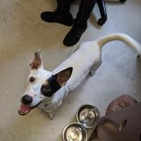 Monroe Michigan Rat Terrier Meet Cooper A For Adoption Https Www Adoptapet Com Pet 25748503 Monroe Michigan Rat Terrier Rat Terriers Terrier Pets