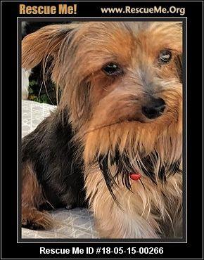 Florida Yorkie Rescue Adoptions Rescueme Org Pensacola Fl 32514 Yorkie Yorkie Dogs Florida