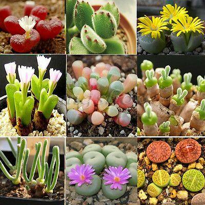 Mix Lithops cactus stones living  species 50,100,500,1000 CombSH seeds succulent