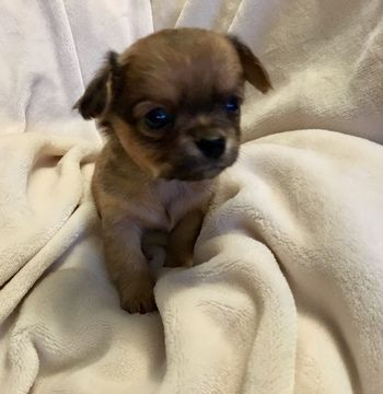 Litter Of 5 Chihuahua Puppies For Sale In Tacoma Wa Adn 70907 On