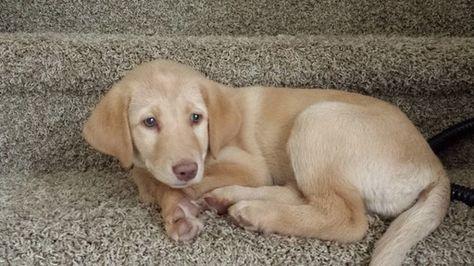 Labrador Retriever Puppy For Sale In Colorado Springs Co Adn 37096 On Puppyfinder Com Gender M With Images Labrador Retriever Labrador Retriever Puppies Retriever Puppy