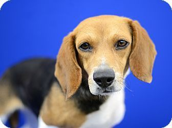 Pin By Martha Holt On Beagle Dogs Beagle Adoptable Beagle Dogs