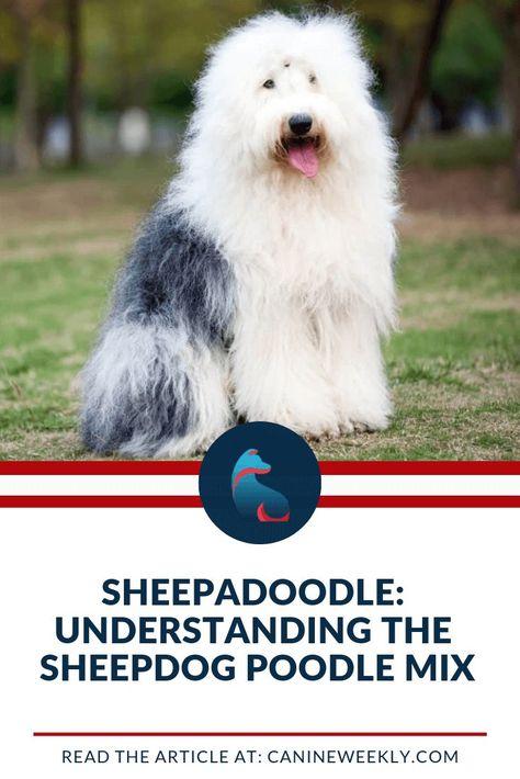 Sheepadoodle Understanding The Sheepdog Poodle Mix