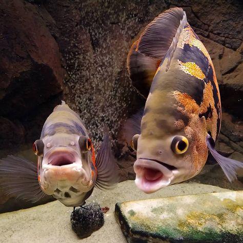 Pin On Oscar Fish