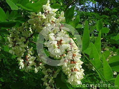 Blooming Flowers Of White Acacia Tree In A Park In Spring Senegalia Greggii White Acacia Blossom And Green Leaves Trees Blooming Flowers Acacia Tree Bloom