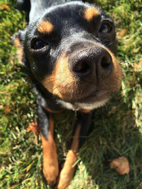 Obtain Excellent Tips On Miniature Pinscher They Are On Call