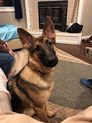 German Shepherd Puppies For Sale In Illinois Find Illinois