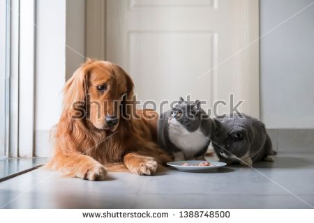Stock Photo Golden Retriever Eats With British Shorthair With Images Golden Retriever Pet Dogs British Shorthair