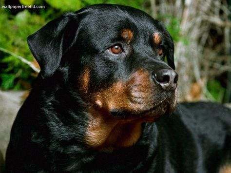 Rottweiler Wallpapers For Desktop Rottweiler Wallpaper Rottweiler Dog Rottweiler Dog Breed Rottweiler Breed