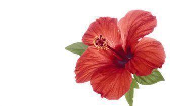 Hibiscus Flower Benefits Remedies Precautions And More Hibiscusflowerbenefits Hibiscus Flowers Hibiscus Tree Hibiscus