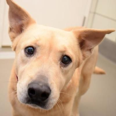 Dallas Tx Labrador Retriever Meet Yellow Rose A Pet For Adoption In 2020 Labrador Retriever Pet Adoption Labrador