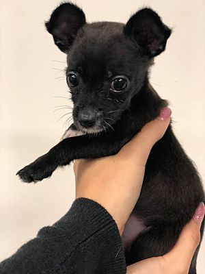 Los Angeles Ca 2 Month Old Puppy Chihuahua Meet Tiny A Pet For Adoption Chihuahua Pets Pet Adoption