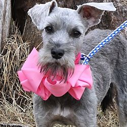 Bedminster Nj Miniature Schnauzer Meet Mia A Pet For Adoption