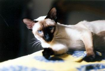 Siamese Cat Photo Gallery Suyaki Siamese Cattery Siamese Kittens For Sale In Florida Siamese Cats Blue Point Siamese Kittens Cattery