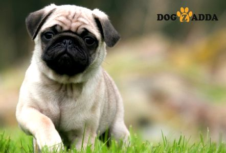 A Pug Is Like A Bundle Of Love Gift Wrapped In Fur Dogzadda