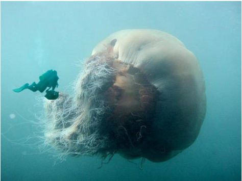 Lions Mane Jellyfish, largest species ever.