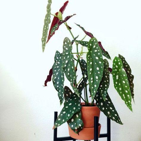Piante Particolari Da Appartamento.Begonia Maculata Wightii Nel 2020 Pianta Domestica