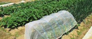 ジャガイモの育て方 ジャガイモ 家庭菜園 あたる