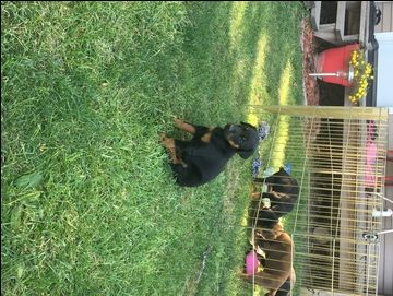 Litter Of 7 Doberman Pinscher Puppies For Sale In Elkhart Il Adn