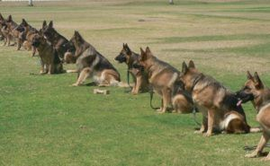 Dogs 101 German Shepherd Dog Gsd Animal Facts With Images