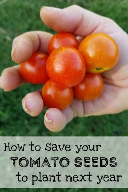 How To Save Tomato Seeds From Your Garden Growing Tomatoes From