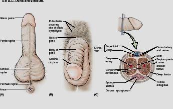 penis skin anatomy