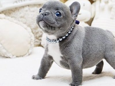 Sold Puppies Microteacups In 2020 Teacup Puppies Micro Teacup Puppies French Bulldog Puppies