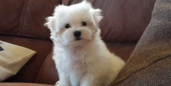 30 Small Hypoallergenic Dogs That Don T Shed Mini Dogs Breeds Cute Small Dogs Dog Breeds That Dont Shed
