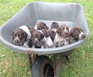 German Shorthaired Pointer Puppies For Sale Charleston Sc Dog Pointer Puppies German Shorthaired Pointer Puppies For Sale