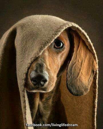 Pin By Karen Adams On Animals Dachshund Dog Dog Photography Dogs