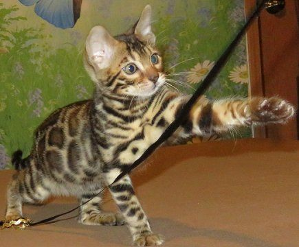 Bengal Kittens For Sale Healthy Sweet Good With Kids Hypoallergenic In 2020 Bengal Kitten Bengal Kittens For Sale Bengal Cat Kitten
