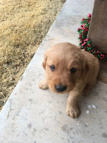 Litter Of 3 Golden Retriever Puppies For Sale In Andrews Tx Adn