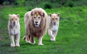 Image Result For Background Animal Images Hd 1080p Free Download Psd Lion Images Wild Animal Wallpaper Animals Images