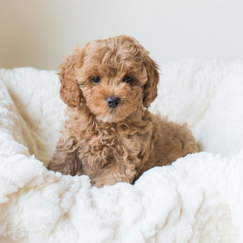 We raise adorable Cavapoochon puppies on the beautiful hills of Ohio. Our cavapoochon puppies are raised with lots of love, care, and attention. Toy Poodle Puppies, Cute Baby Puppies, Cavachon Puppies, Toy Poodles, Maltipoo Puppies For Sale, Yorkie Poodle, Poodle Grooming, Bulldog Puppies, Dog Grooming