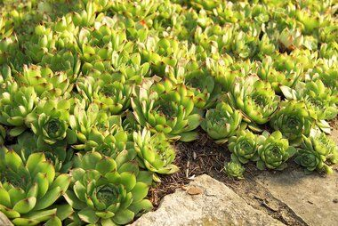 10 Tough Groundcovers That Can Solve Your Worst Landscaping Problems In 2020 Ground Cover Plants Succulent Landscaping Plants