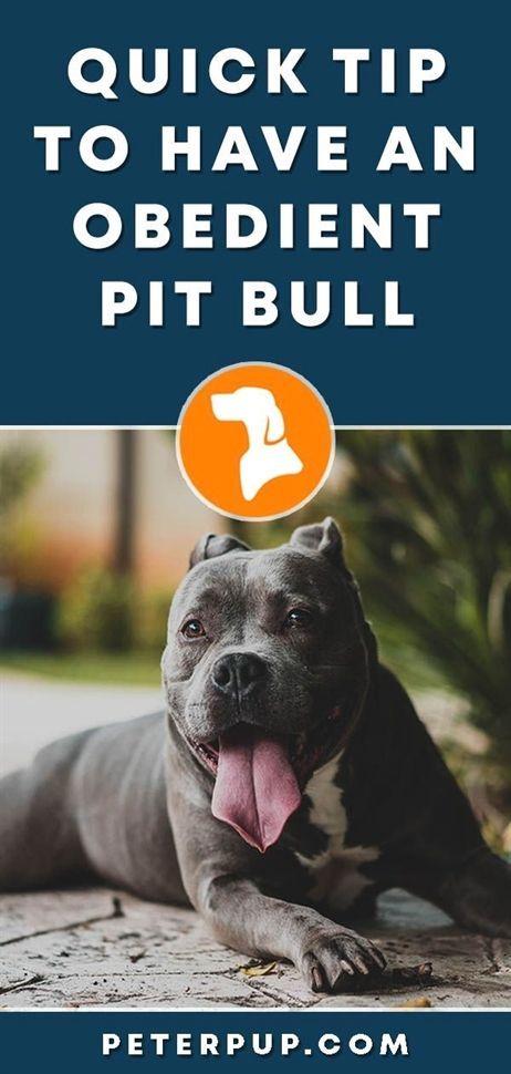 Learning To Train A Disobedient Dog Pitbulls Basic Dog Training