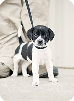 Portsmouth Ri Beagle Rat Terrier Mix Meet Charlie A Puppy For