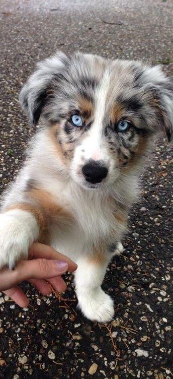Cute Australian Shepherd Puppy - Aussie Dog