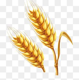 Cartoon Farm Golden Wheat Vector Png Farm Cartoon Wheat Golden Ear Png Transparent Clipart Image And Psd File For Free Download Wheat Vector Golden Wheat Wheat